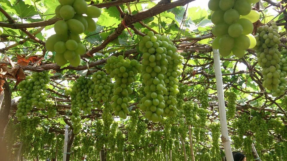 Ninh Thuận trồng chủ yếu hai loại: nho đỏ và xanh có vị ngọt nhẹ, mọng nước.