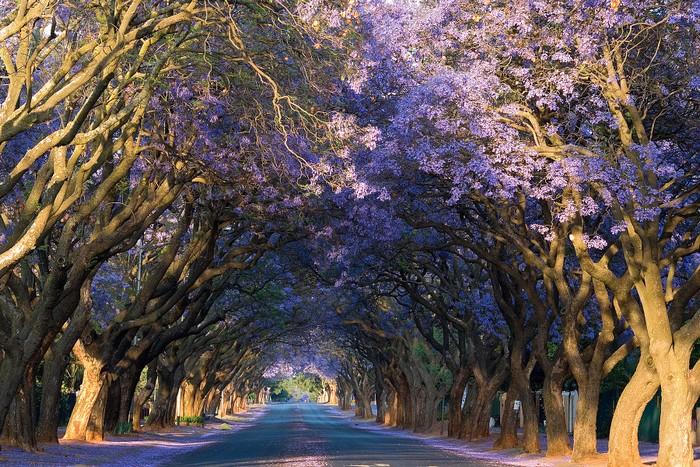 Vốn là thủ đô hành chính của Nam Phi, Pretoria còn mang cái tên thành phố hoa phượng tím với hàng chục ngàn cây được trồng khắp các góc phố, nẻo đường, công viên hay những khu vườn
