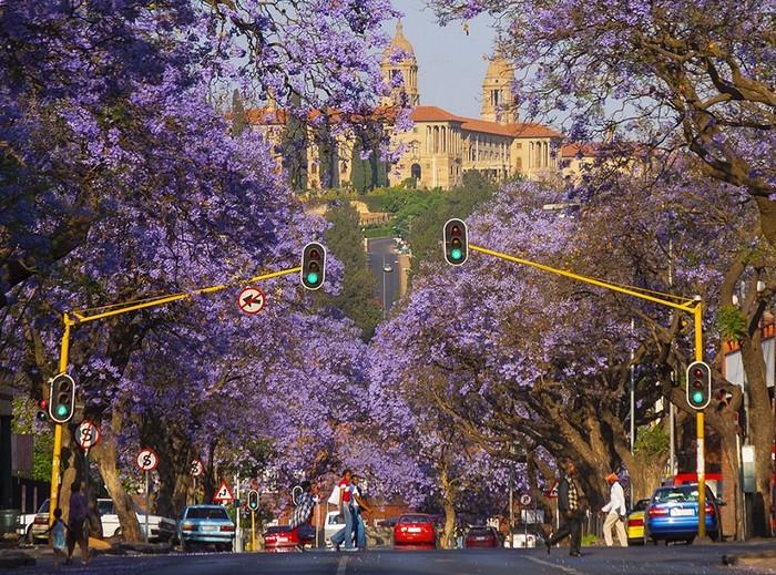 Nằm ở vùng khí hậu cận nhiệt đới ẩm, Pretoria có mùa xuân bắt đầu vào tháng 9 kéo dài tới tháng 11. Từ giữa cho đến cuối mùa xuân là thời điểm hoa phượng tím bắt đầu nở rộ
