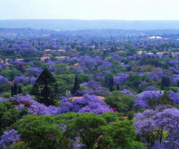 Những cây phượng tím của thủ đô Pretoria được du nhập vào Nam Phi từ thế kỉ 19. Mặc dù có nguồn gốc từ Nam Mỹ, loài thực vật này vẫn phát triển mạnh trong khí hậu nóng ẩm của Nam Phi và có khả năng chịu hạn khá tốt.
