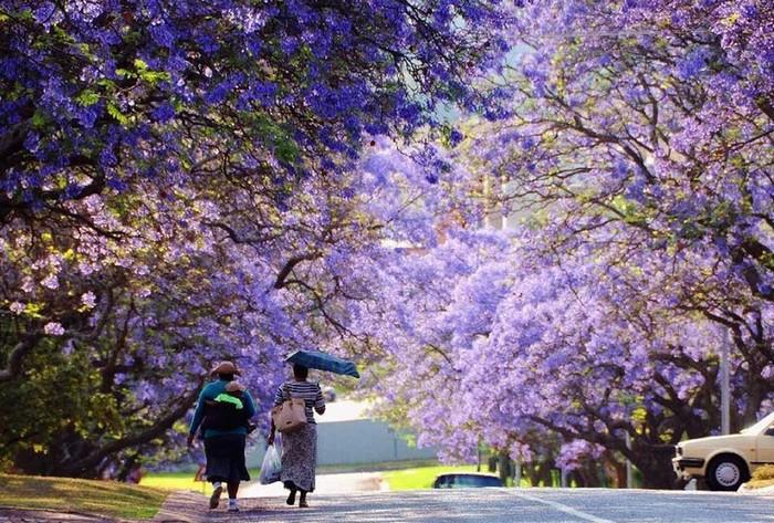 TheoHubpages, hai cây phượng tím đầu tiên được trồng tại một trường học nằm ở vùng Arcadia của Pretoria vào khoảng năm 1888. Kể từ đó, số lượng loài cây này bắt đầu nhân lên rộng rãi và người dân thành phố cũng trồng chúng khắp nơi.