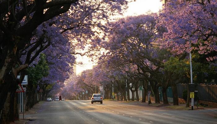 Tuy nhiên, vốn là giống ngoại lai, phượng tím chỉ được trồng dưới sự giám sát chặt chẽ của chính quyền Nam Phi do loài cây này có nguy cơ gây mất cân bằng sinh thái địa phương