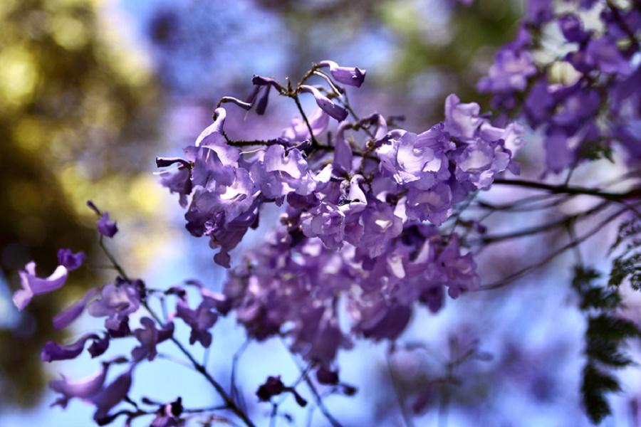 Theo quy định, chính quyền Pretoria được phép giữ lại tất cả số lượng cây phượng tím trong thành phố song những cây đã bị chết sẽ được thay thế bằng một cây mới khác loài.