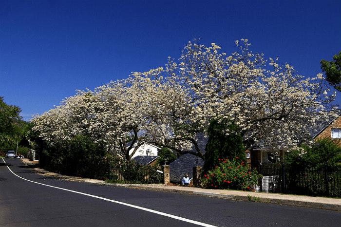 Không chỉ có những cây phượng tím tô sắc cho Pretoria, phượng trắng cũng điểm xuyết một vài góc trên bức tranh thiên nhiên của thủ đô này