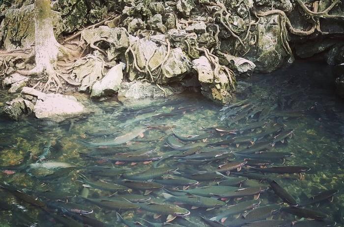 Hàng chục nghìn con cá bơi lội