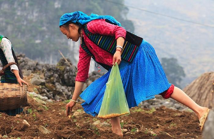 Người Hà Giang tra hạt xen lẫn giữa ngũ cốc và rau hoa