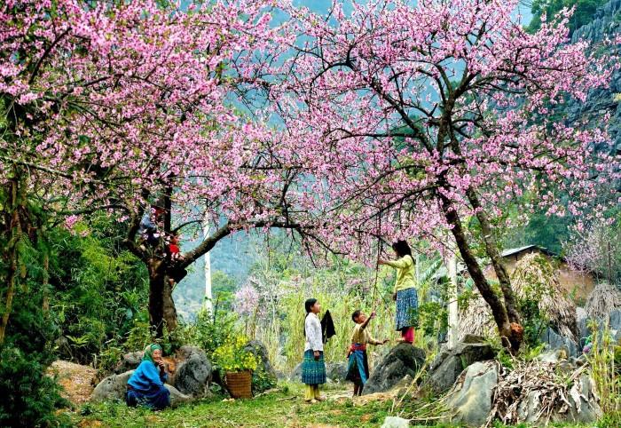 Mùa xuân hoa đào nhuộm hồng - Ảnh: Sưu tầm