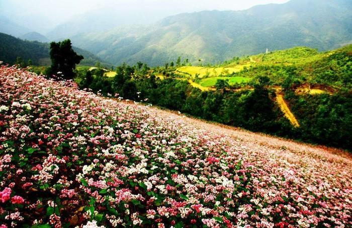 Đến tháng 10 là hoa tam giác mạnh nỏ bung bên ruộng lúa chín vàng - Ảnh: Sưu tầm