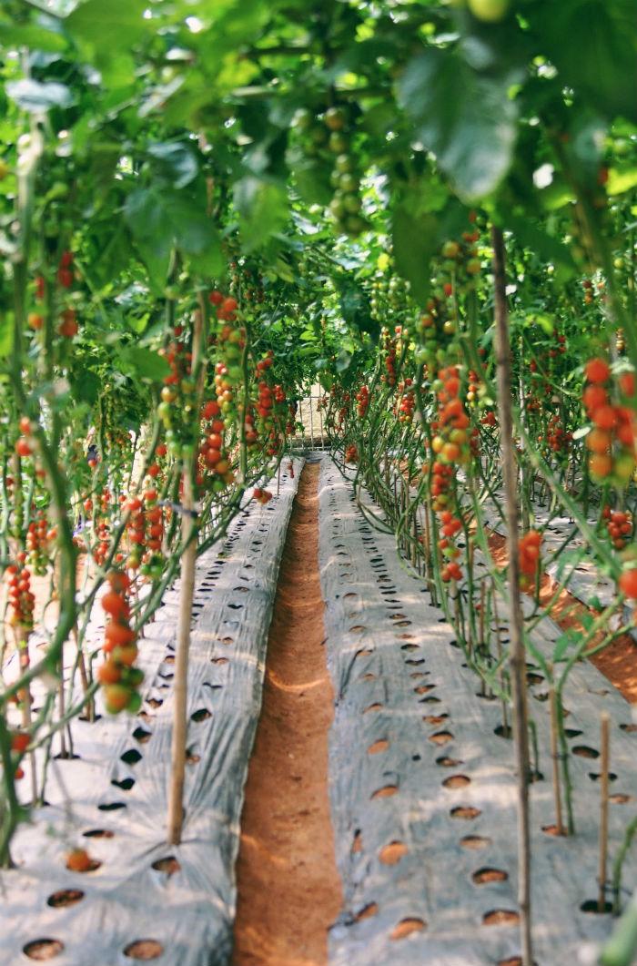 Cà chua bi bên cạnh vườn bí đỏ khổng lồ