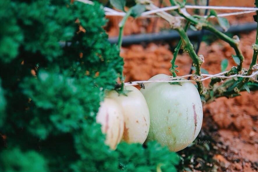 Vườn dưa hấu Pepino đang rất thu hút khách du lịch Đà Lạt