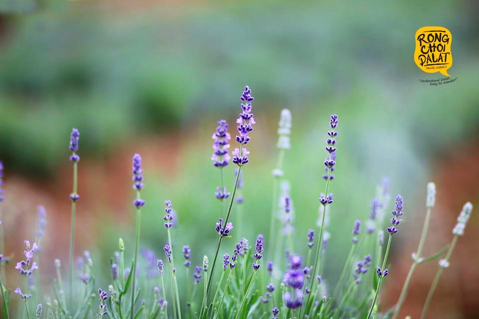 Dự kiến hoa sẽ nở rộ vào giữa tháng 7