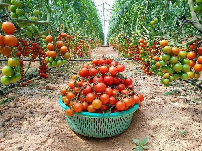 Khu vườn trĩu quả cà chua tươi ngon và chất lượng