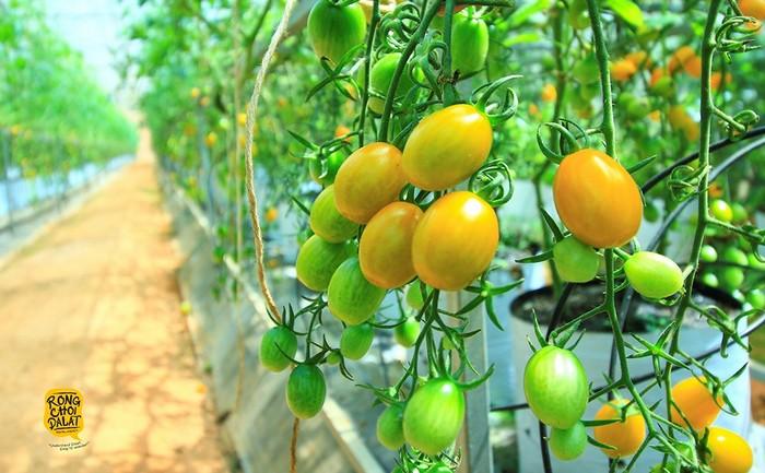 Những vườn rau củ quả Đà Lạt khiến du khách rất thích thú