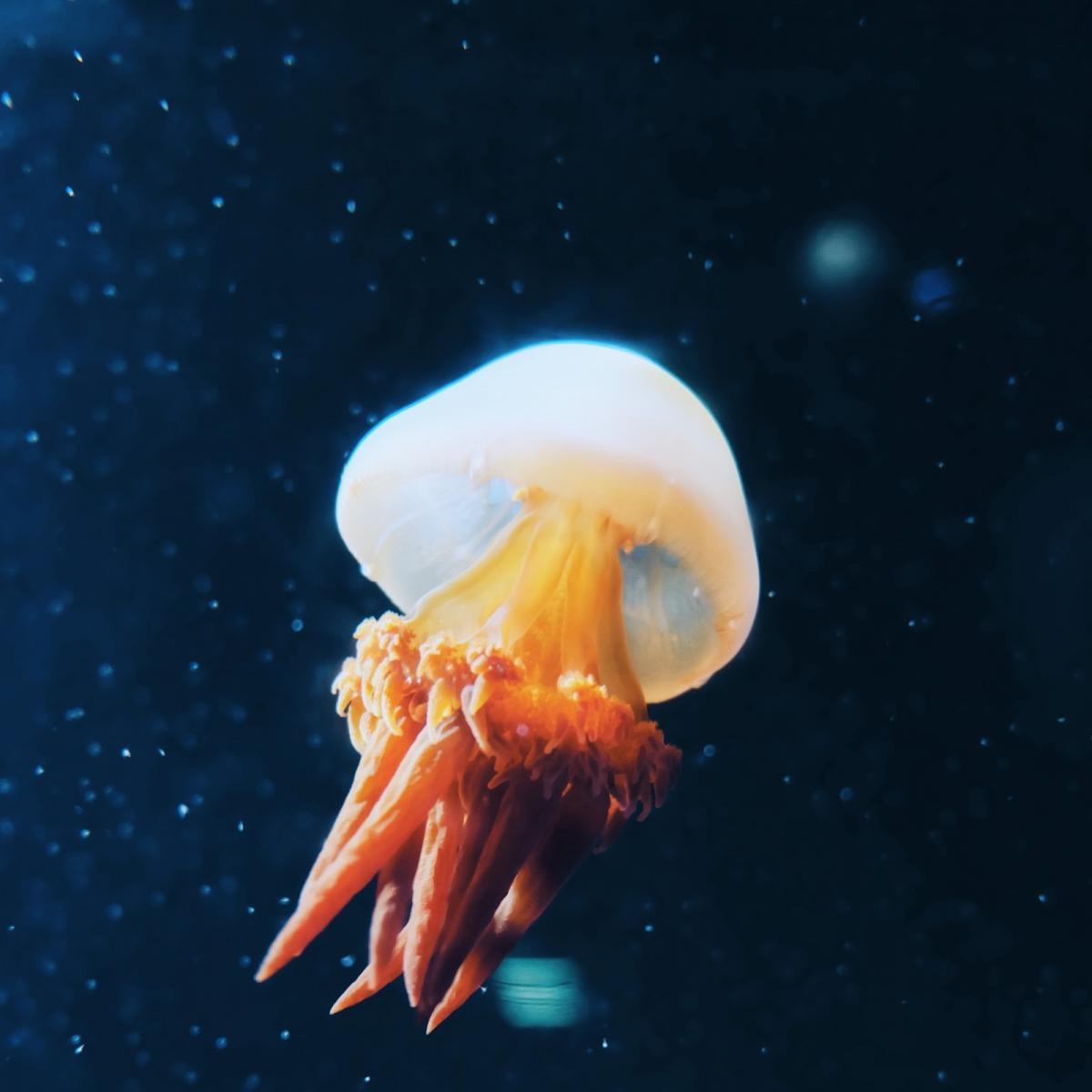Loài sứa phát sáng độc đáo