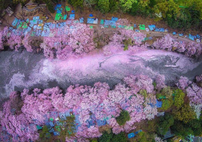 Mùa hoa anh đào ở Tokyo