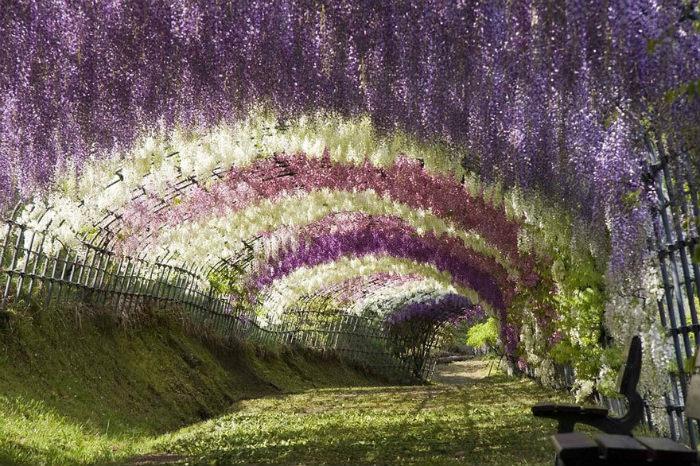 Đường hầm hoa tử đằng ở vườn Kawwachi Fuji