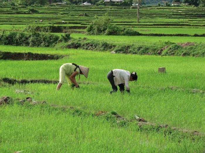 Cảnh người dân cấy lúa