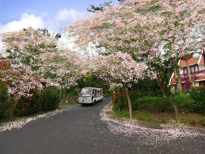 Đôi lúc lại ngỡ lạc bước Phù Tang theo những con đường hoa anh đào đang rợp nở