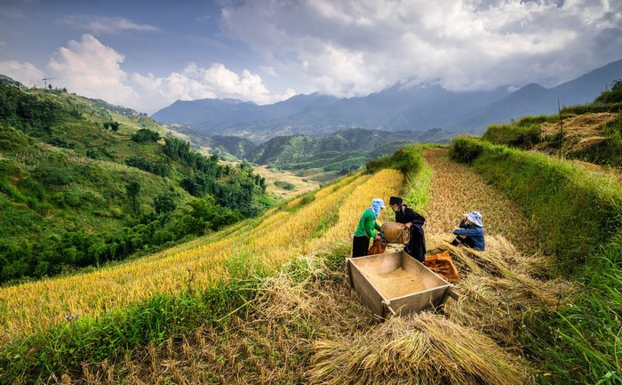 Hình ảnh giản dị của người đồng bào mùa gặt