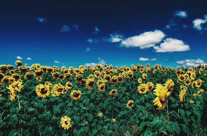 Hay những cánh đồng hoa hướng dương nở rộ đẹp mê ly