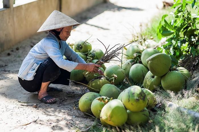 Đặc sản dừa xiêm ở Tam Hải