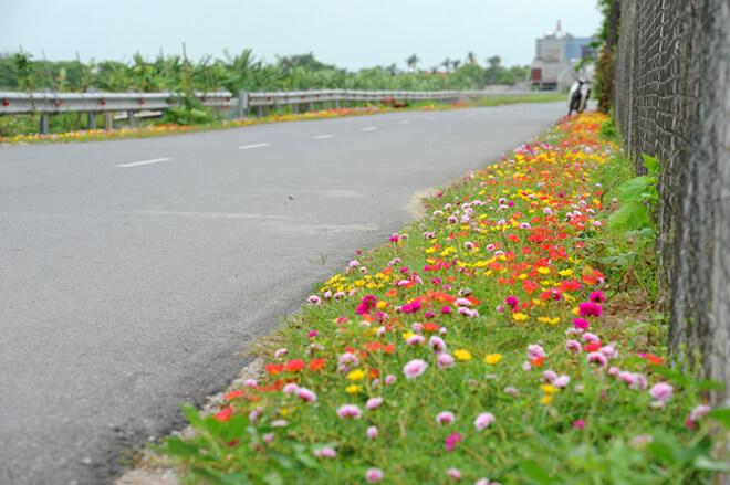 Hoa mang tên như vậy vì nở rực rỡ nhất vào tầm 10-11h, tàn dần khi chiều buông.