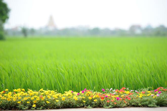 Hoa được trồng xuyên suốt trên nhiều tuyến, chạy dọc qua những cánh đồng lúa đang xanh mơn mởn.