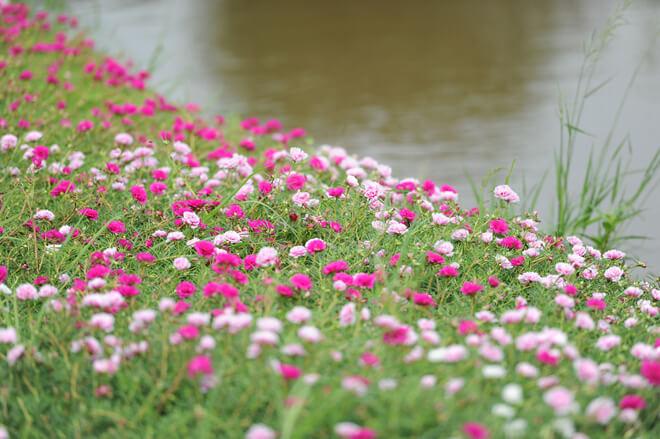 Có những chỗ hoa được trồng dọc dòng nước êm đềm trôi.