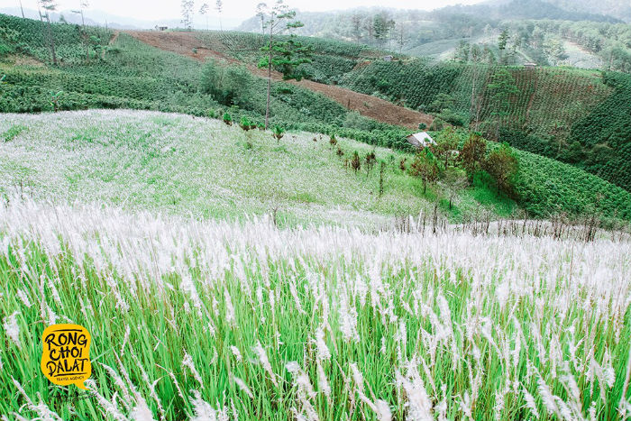 Hoa cỏ tranh bung nở trắng xóa cả ngọn đồi