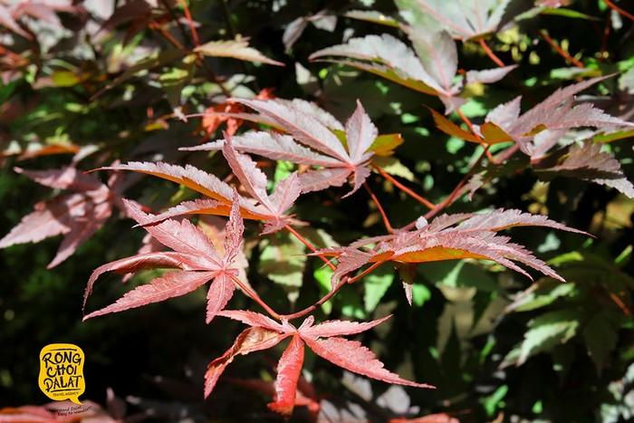 Cây phong lá đỏ - giống cây đến từ miền đất Canada