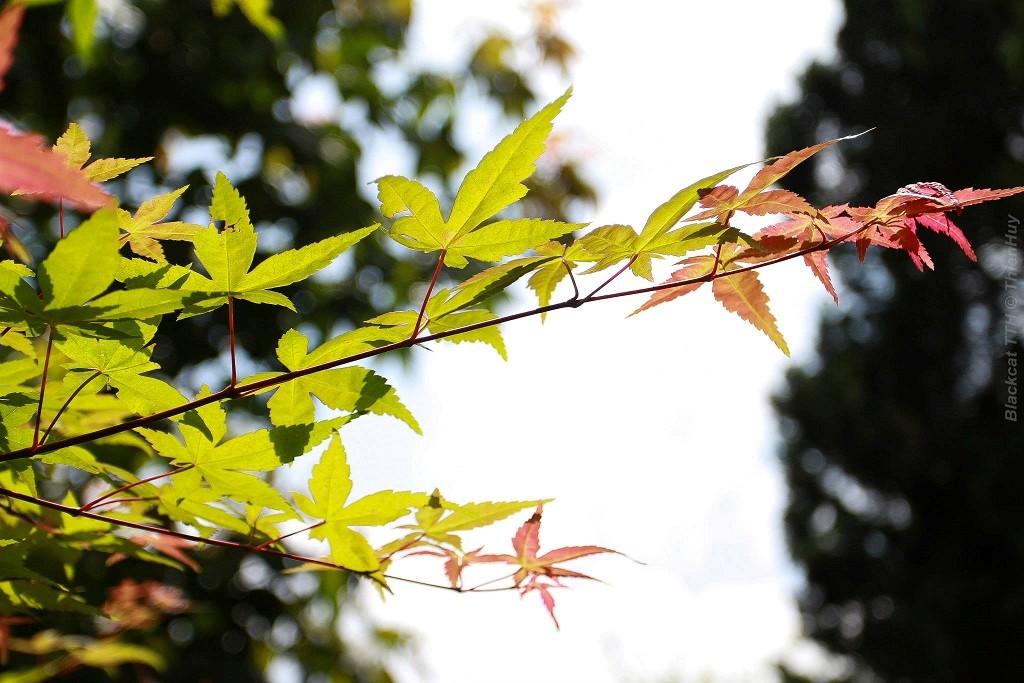 Xiêu lòng với những chiếc lá phong chuyển màu đẹp mộng mơ