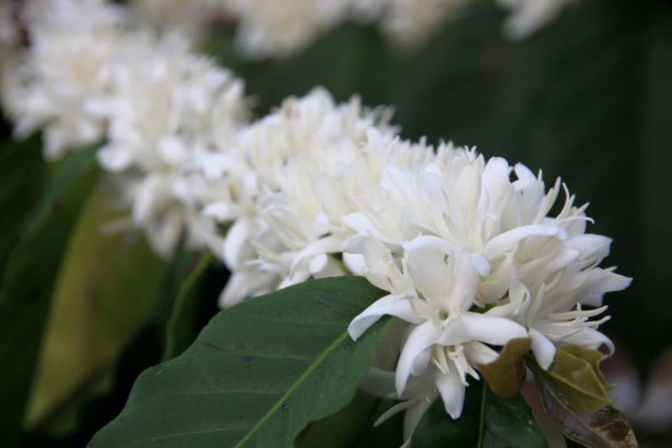 Hoa sau nhà trắng tinh khôi