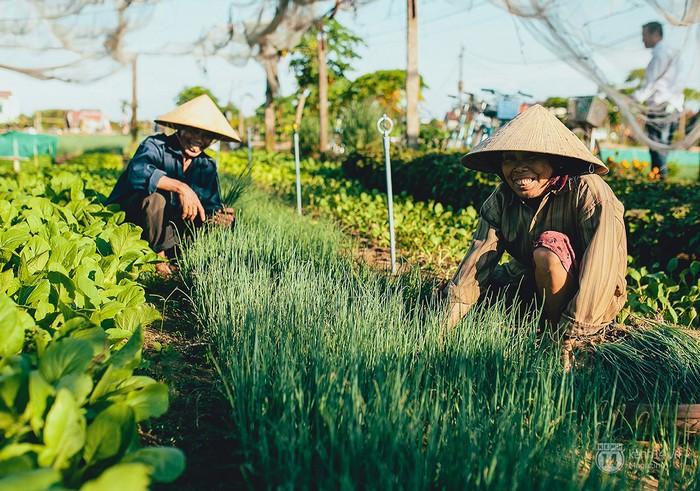 Đến làng rau Trà Quế, bạn sẽ được… trồng rau cùng người nông dân tại đây.