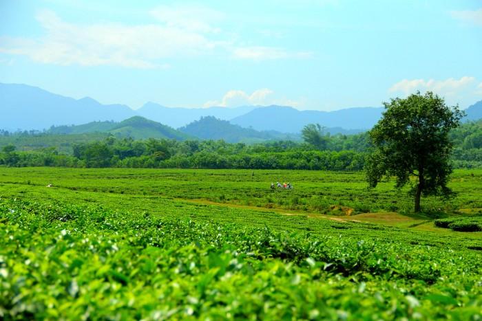 Miên man trong màu xanh mát yên bình tại đồi chè Đông Giang - Ảnh: Taro Photography