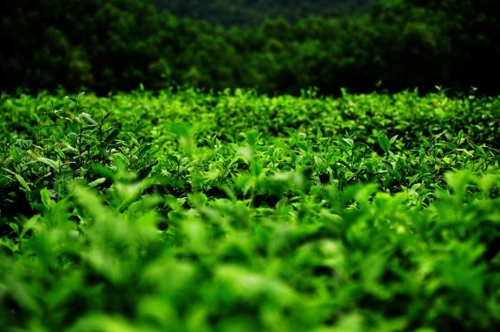 Ngẩn ngơ màu xanh của lá trà - Ảnh: Tuan Phan