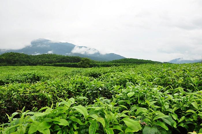 Thèm được chạm vào từng lá trà xanh mơn mởn mát lành - Ảnh: Tuan Phan