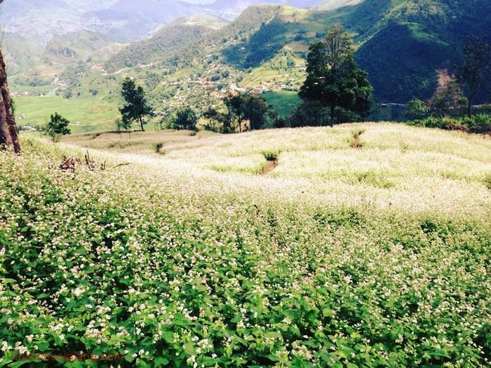 Rồi người ta lại ngỡ ngàng khi gặp một rừng hoa tam giác mạch trên đèo Khau Phạ