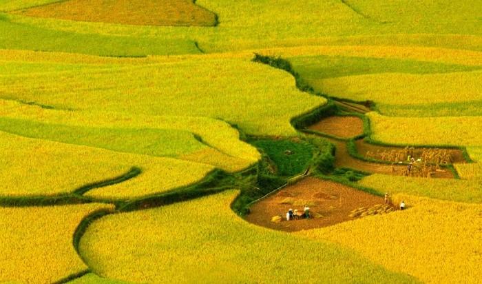 Mộc Châu còn có sắc lúa vàng rạo rực trên những thửa ruộng dài uốn lượn