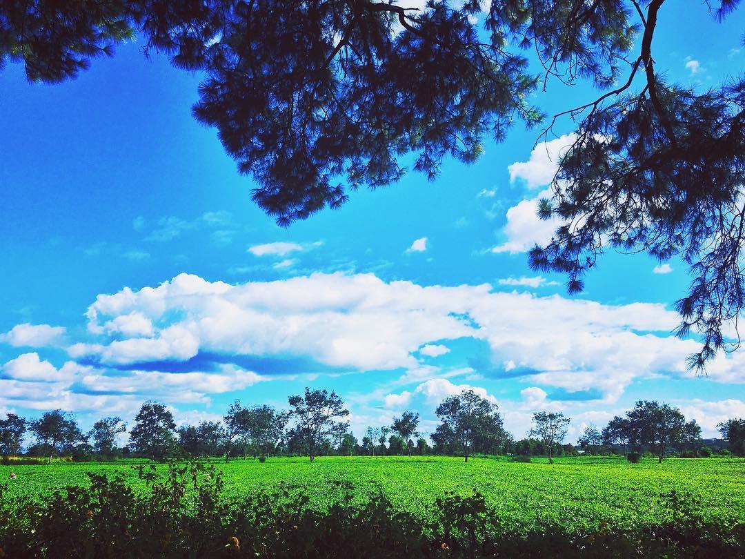 Biển Hồ chè xanh ngát - Ảnh: @lafepo