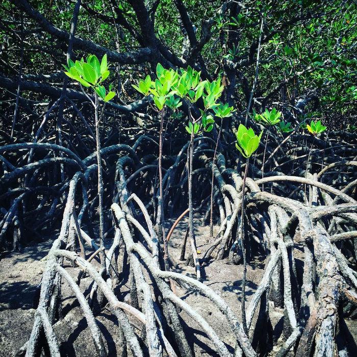 Hệ sinh thái rừng ngập mặn độc đáo tại Côn Đảo - Ảnh: IG project2000km