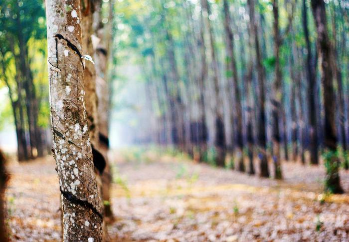 Những vết cứa hằn in trên thân cây qua bao năm tháng