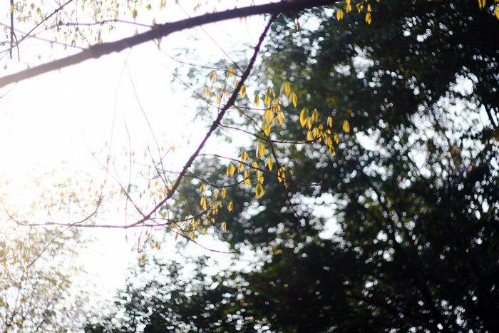 Những chiếc lá non mơn mởn ở rừng cao su Chư Păh ngày trổ lá