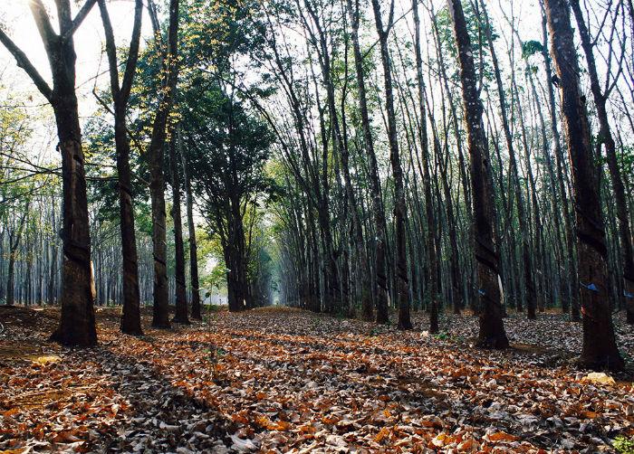 Bức tranh rừng cao su hòa quyện nhiều sắc màu