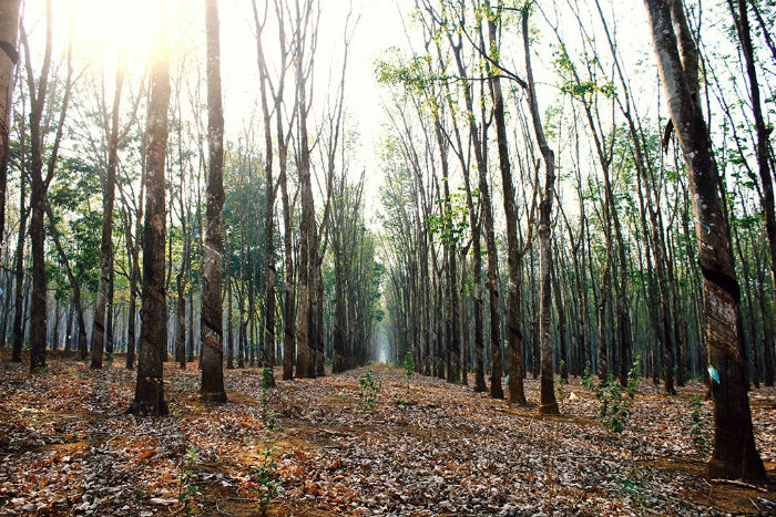 Nắng vàng rải khắp rừng cao su