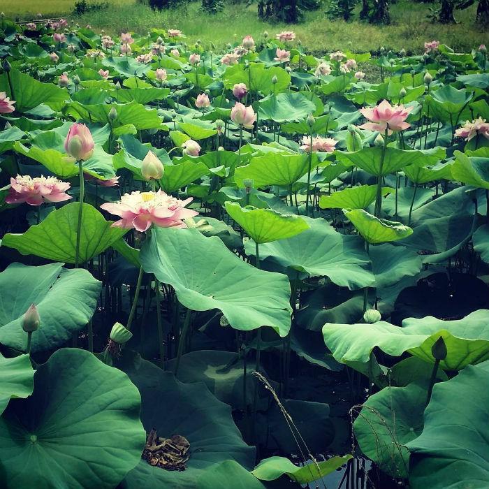 Sen nở đầy hồ đẹp như tranh