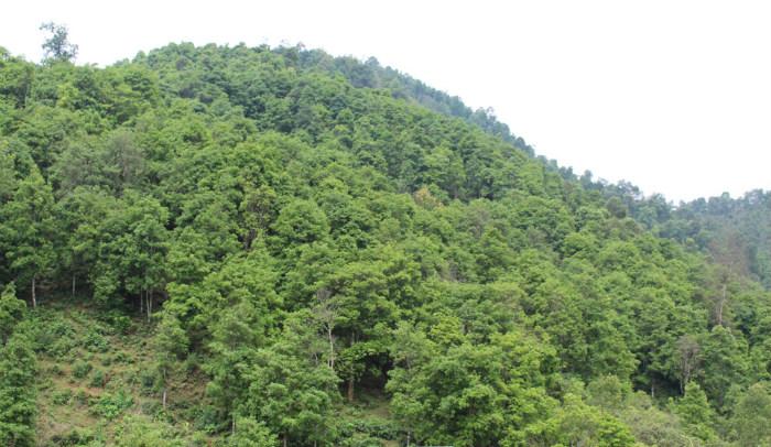 Cây hồi được coi là cây trồng mũi nhọn về kinh tế của Lạng Sơn trong nhiều năm qua, tổng diện tích khoảng 33.000 ha.