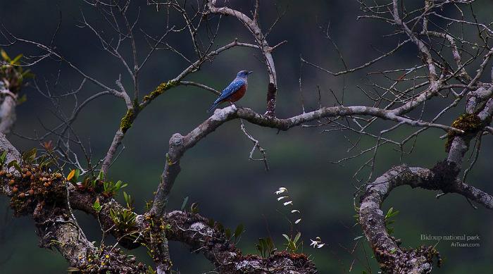 Hoét đá bụng hung - một loài chim thuộc họ Muscicapidae