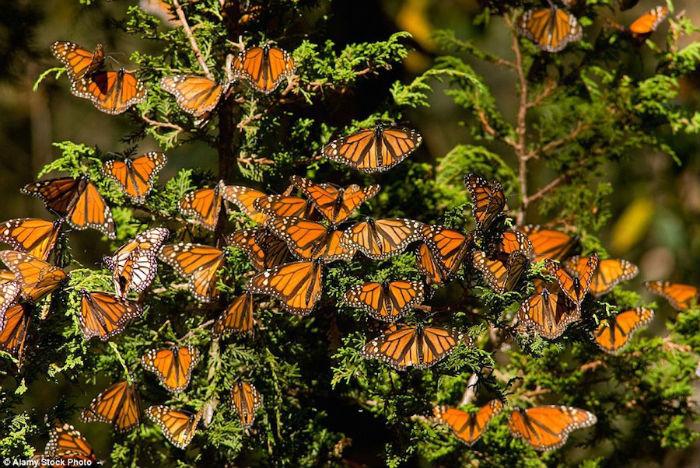 Vô số bướm tụ lại trên cây hoặc mặt đất, biến một diện tích lớn thành thảm màu cam và đen. Bất cứ ai khi nhìn thấy cũng phải trầm trồ trước cảnh thiên nhiên này.