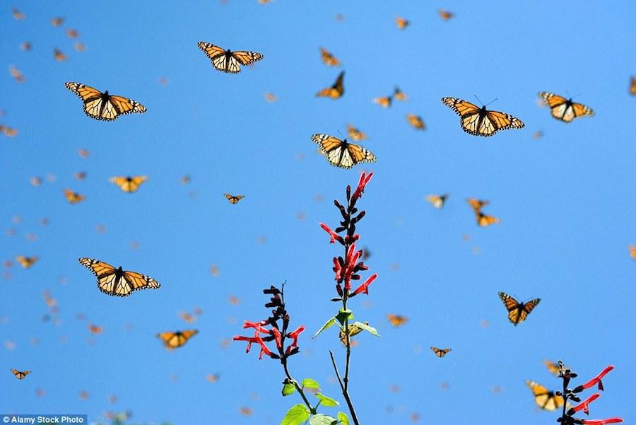 Cuộc di cư của bướm Monarch được xem như một trong những bí ẩn thú vị nhất của thế giới tự nhiên. Chúng sinh ra ở những nơi như Toronto, Winnipeg hay Detroit, và không hiểu bằng cách nào đó tụ lại với nhau bay xuyên lục địa để tới trung tâm Mexico.