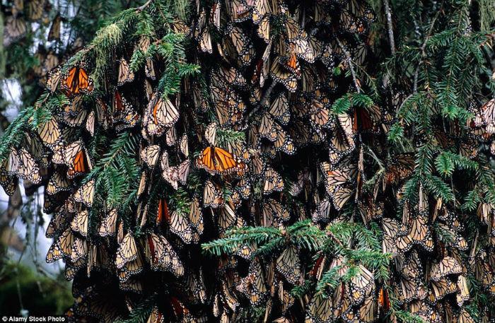 Monarch bắt đầu đến rừng Michoacan vào cuối tháng 10 để trú ẩn trong mùa đông. Tại đây chúng sẽ dành 5 tháng tiếp theo để tụ lại với nhau tạo thành một quần thể lớn mà trông từ ngoài vào giống như những tổ ong nhiều màu sắc.